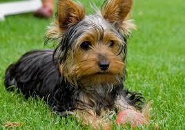 nick Utilidade pública: Cãozinho yorkshire desaparece e família, desesperada, oferece recompensa a quem encontrá lo