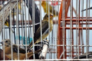 Pássaro cativeiro
