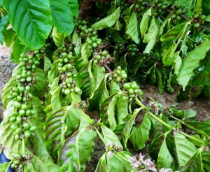 Café Petrolina 1