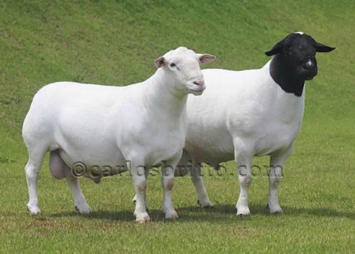 caprinos-ovinos-leilao
