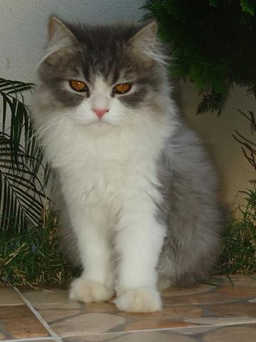 gato persa_360x480