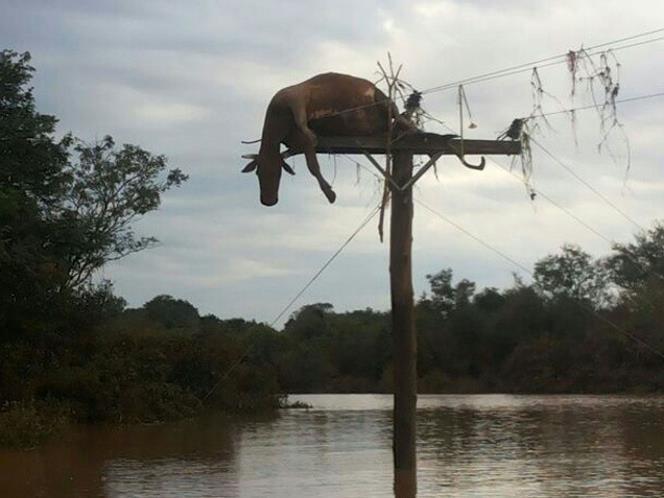 vaca em cima de poste