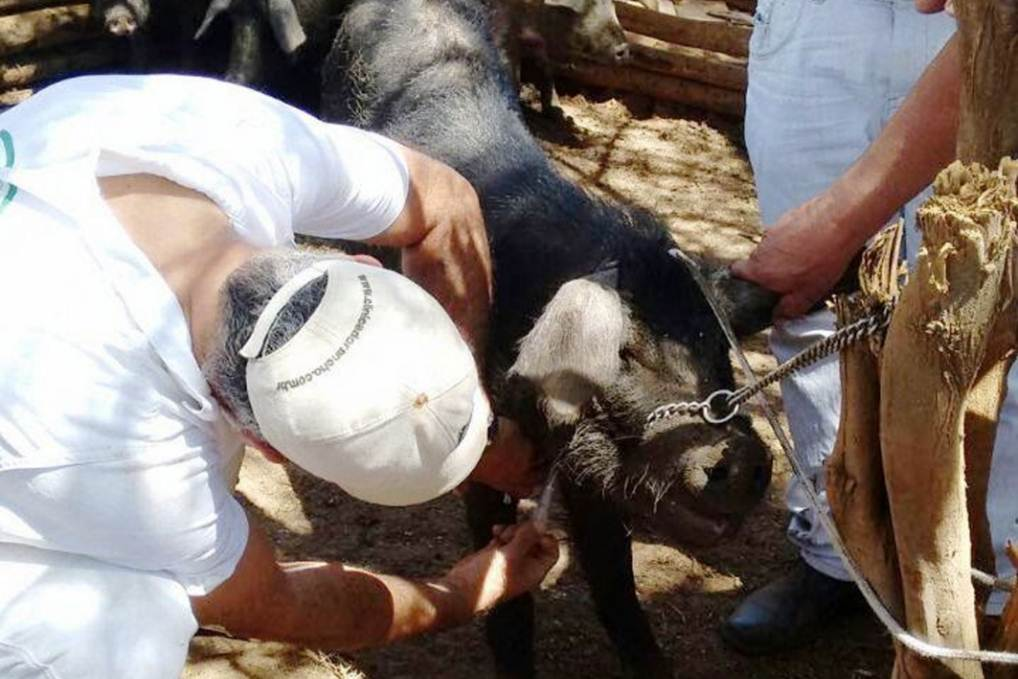 vacina porco bahia