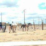 SEMAURB – Recolhimento de animais